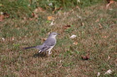 Northern Mockingbird, Mimus polyglottos Stock Photos