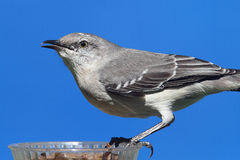 Northern Mockingbird (Mimus polyglottos) Royalty Free Stock Photos