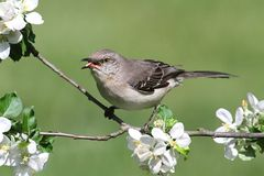 Northern Mockingbird (Mimus polyglottos). In an apple tree with flowers Royalty Free Stock Photography