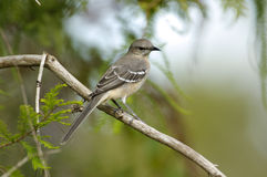 Northern Mockingbird (Mimus polyglottos). Arthur J Marshall NWR, Loxahatchee,  Florida, USA. Northern Mockingbird (Mimus polyglottos) perched on  branch Royalty Free Stock Photo