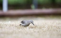 Northern Mockingbird hunting for bugs on Georgia lawn. Northern Mockingbird, Mimus polyglottos, a common songbird thrush of the southeastern United States Stock Image