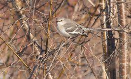 Northern Mockingbird - Mimus polyglottos royalty free stock photography