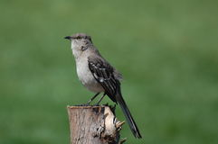 Northern Mockingbird. A northern mockingbird, Mimus polyglottos, watching from its perch on a fence post Royalty Free Stock Photos