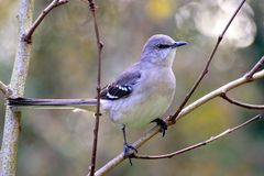 Northern Mockingbird (Mimus polyglottos) Royalty Free Stock Images