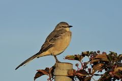 Northern Mockingbird in morning light Stock Photos