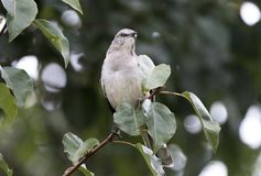 Northern Mockingbird perched in Bradford Pear Tree, Georgia. Northern Mockingbird songbird, Mimus polyglottos, breeds in southeastern Canada, the United States royalty free stock images