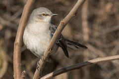 Northern Mockingbird Stock Images