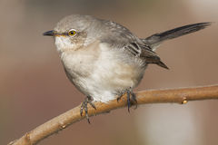 Northern Mockingbird Royalty Free Stock Photo