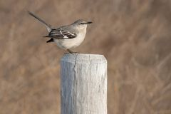 Northern Mockingbird Stock Photos