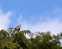 Northern mockingbird. A northern  mockingbird perched on a Limb in the top of a tree Royalty Free Stock Image