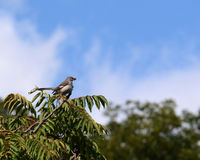 Northern mockingbird. A northern  mockingbird perched on a Limb in the top of a tree Stock Photography