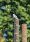 Northern Mockingbird atop pipe Royalty Free Stock Photography