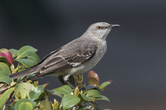 Northern Mockingbird Perched in a Shrub - Florida Stock Photos