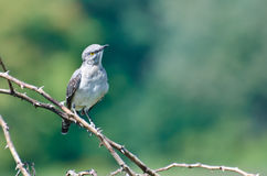 Northern Mockingbird Perched in a Tree Stock Photography