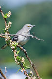 Northern Mockingbird Perched in a Tree Stock Images