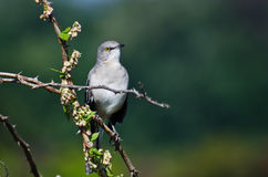 Northern Mockingbird Perched in a Tree Stock Photo