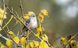 Northern Mockingbird perched on yellow fall foliage. Northern Mockingbird songbird, Mimus polyglottos. Photographed in fall, November 2018, Walton County stock photo