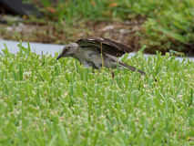 Northern Mockingbird Ready to Pounce Stock Photography