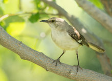 Northern Mockingbird sitting in the shade Royalty Free Stock Image