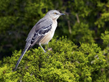 Northern Mockingbird. Sitting in a tree Royalty Free Stock Images