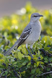 Northern Mockingbird - St. Petersburg, Florida. Northern Mockingbird Mimus polyglottos perched in a shrub - St. Petersburg, Florida Stock Photography