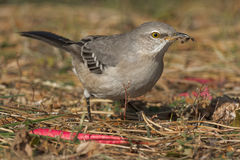 Northern Mockingbird Royalty Free Stock Photography