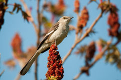 Northern Mockingbird. On a Sumac Tree stock photos