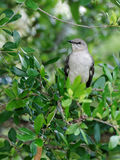 Northern Mockingbird in a Tree Royalty Free Stock Images
