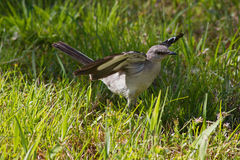 Northern mockingbird Royalty Free Stock Image