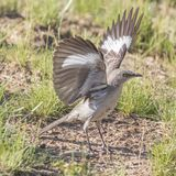 Northern Mockingbird Wings Stretched Fully. Northern mockingbird strikes an interesting pose with both wings fully extended upwards, revealing its white wingbars Royalty Free Stock Images