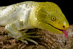 Northern monkey-tailed skink (Corucia zebrata alfredschmidti) Royalty Free Stock Photo
