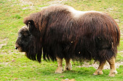 Northern musk ox Stock Photography