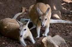 Northern Nail-tail Wallaby Pair Royalty Free Stock Images