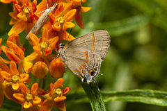 Northern Oak Hairstreak butterfly Royalty Free Stock Images