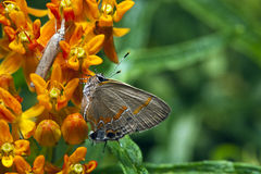 Northern Oak Hairstreak butterfly Royalty Free Stock Image