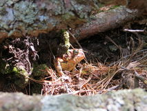 Northern Ontario toad Royalty Free Stock Photography