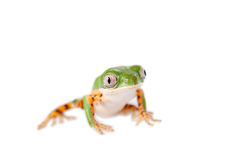 Northern orange-legged leaf frog on white Royalty Free Stock Photos