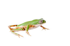 Northern orange-legged leaf frog on white Royalty Free Stock Image