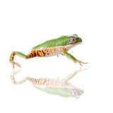 Northern orange-legged leaf frog on white Royalty Free Stock Image