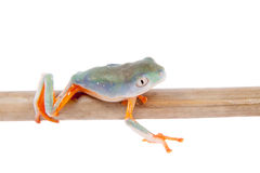 Northern orange-legged leaf frogling on white Royalty Free Stock Image