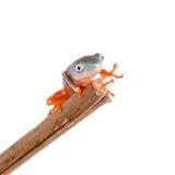 Northern orange-legged leaf frogling on white Royalty Free Stock Images