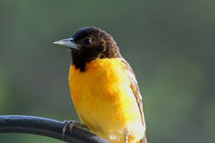Northern Oriole. Portrait shot of a male Northern Oriole in a midwestern garden Royalty Free Stock Photos
