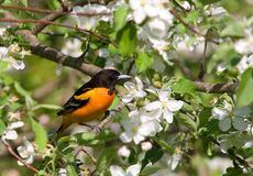 Northern Oriole. Photograph of a brilliantly colored Northern Oriole in the midst of Apple Tree blossoms stock photo