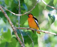 Northern Oriole. On a tree branch Stock Photos