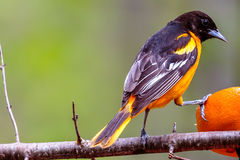 Northern Oriole Feeding royalty free stock images