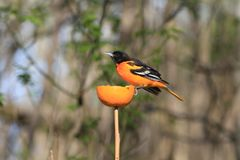 Northern Oriole feeding on orange. Early morning sun spring 2019 royalty free stock photography