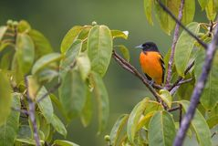 Northern Oriole - Icterus galbula stock images