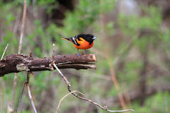 Northern Oriole male Royalty Free Stock Images