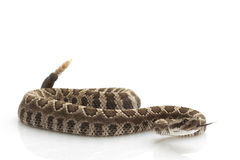 Northern Pacific Rattlesnake Stock Photos