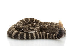 Northern Pacific Rattlesnake Royalty Free Stock Image
